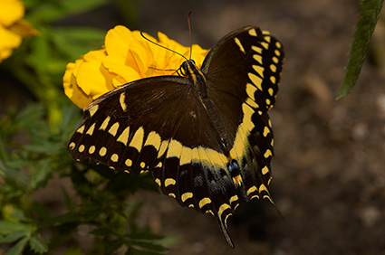 BlackSwallowtail_X4362