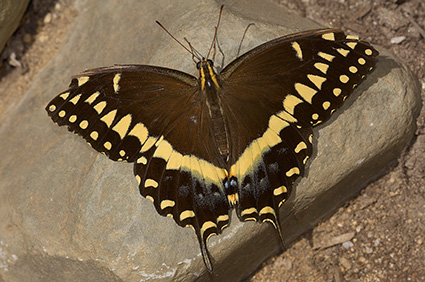 BlackSwallowtail_X4371