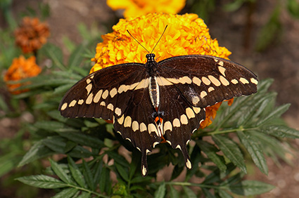 GiantSwallowtail_HS4194