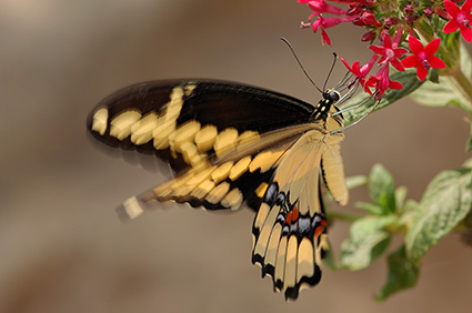 GiantSwallowtail_HS4201
