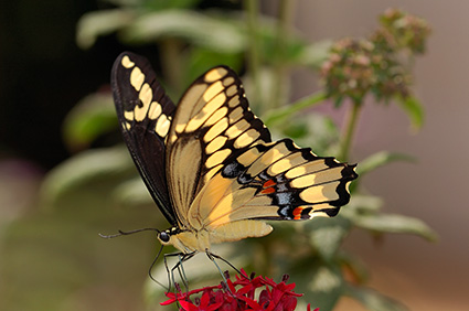 GiantSwallowtail_HS4205