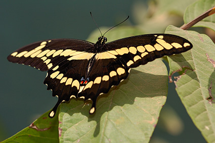 GiantSwallowtail_HS4209