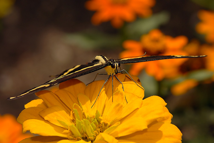 GiantSwallowtail_HS4216