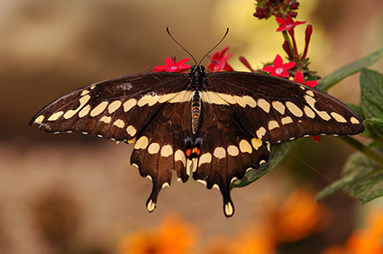GiantSwallowtail_HS4224