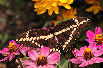 GiantSwallowtail_HS4233