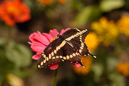 GiantSwallowtail_HS4336