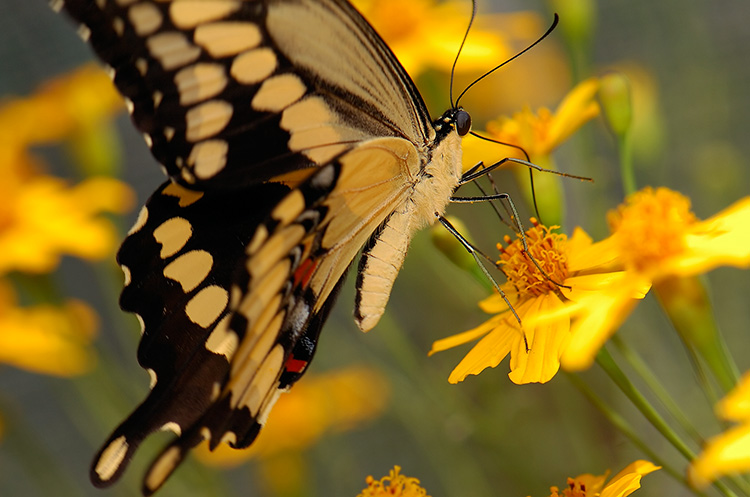 GiantSwallowtail_HS4346