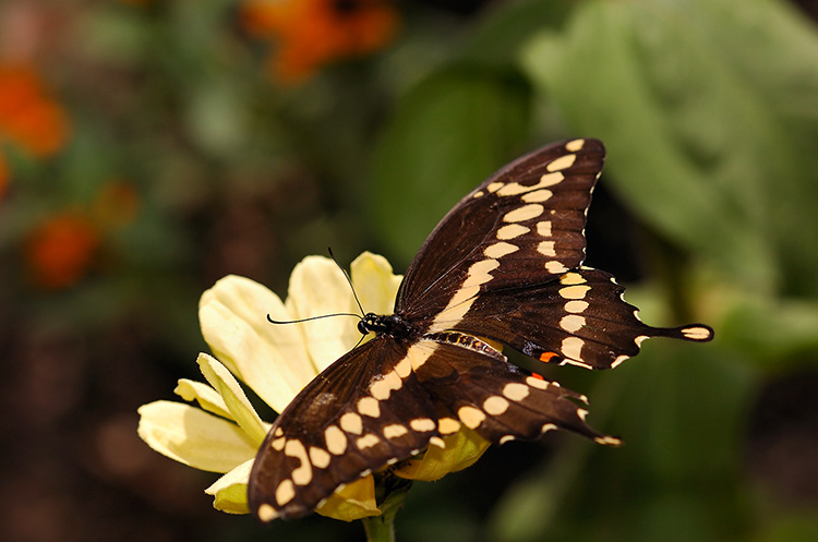 GiantSwallowtail_HS4350