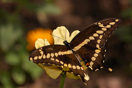 GiantSwallowtail_HS4356
