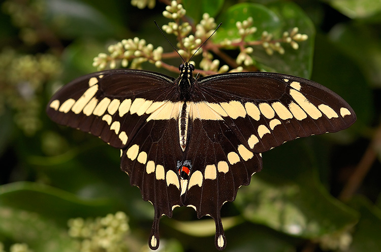 GiantSwallowtail_HS4386