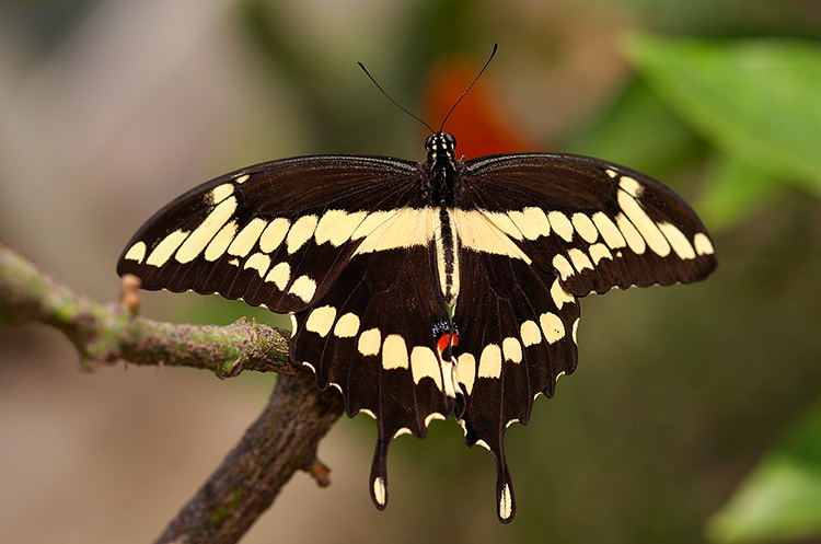 GiantSwallowtail_HS4400