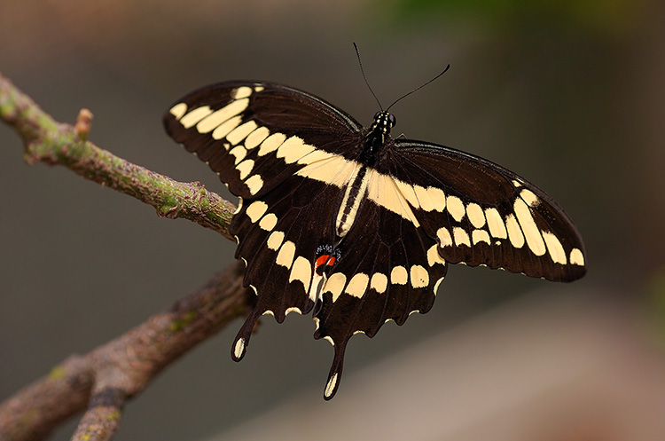 GiantSwallowtail_HS4405