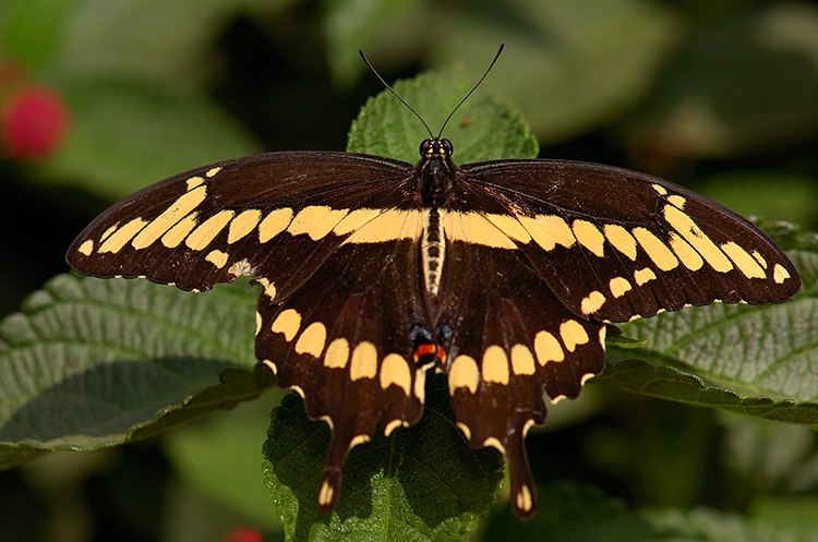 GiantSwallowtail_HS4426