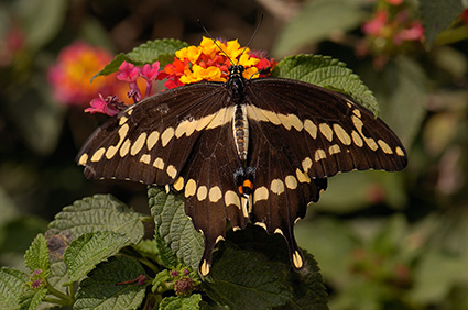 GiantSwallowtail_HS4433