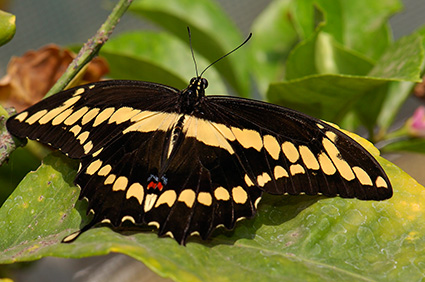 GiantSwallowtail_HS4482