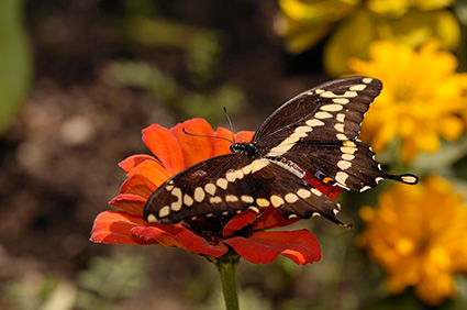 GiantSwallowtail_HS4514
