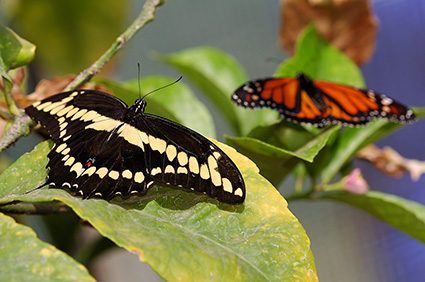 GiantSwallowtail_Monarch_HS4457