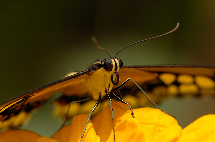 GiantSwallowtail_detail_HS4217