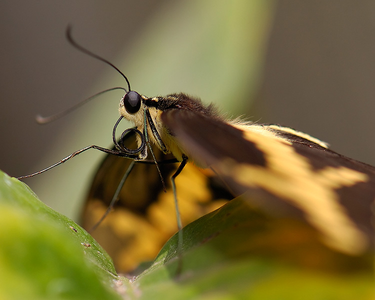 GiantSwallowtail_detail_HS4339M