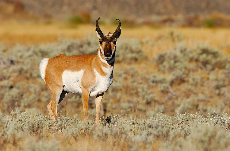 Pronghorn_BlacktailPlateau_0495
