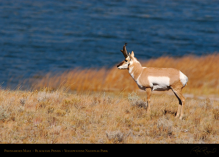 Pronghorn_BlacktailPonds_9962