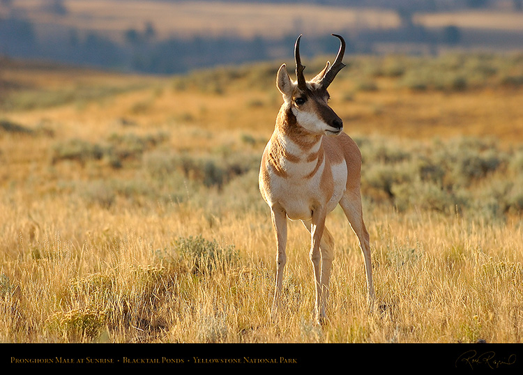 Pronghorn_atSunrise_BlacktailPonds_8840