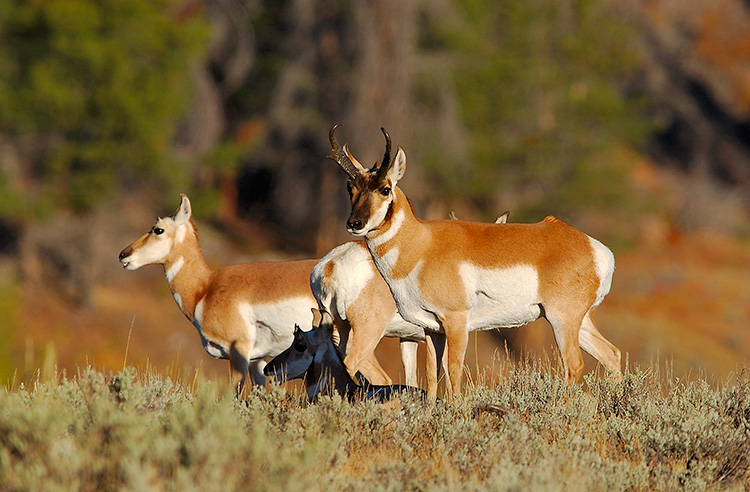 Pronghorns_BlacktailPlateau_0370