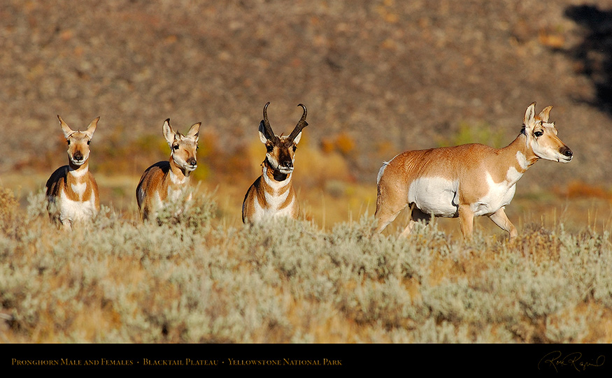 Pronghorns_BlacktailPlateau_0391_16x9