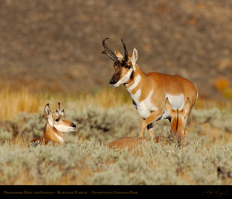 Pronghorns_BlacktailPlateau_0411M