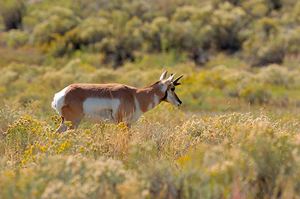 Pronghorn_YoungMale_LowerMammoth_7601