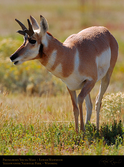 Pronghorn_YoungMale_LowerMammoth_7623