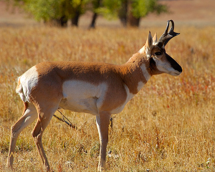 Pronghorn_LamarValley_0579M