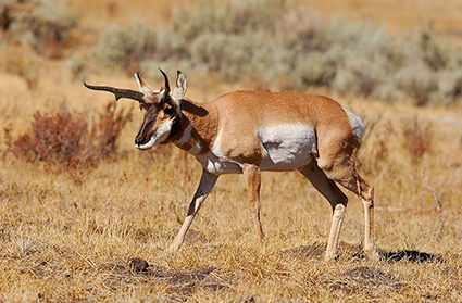Pronghorn_LamarValley_0950