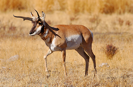 Pronghorn_LamarValley_0951