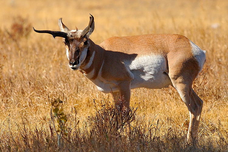 Pronghorn_LamarValley_0965