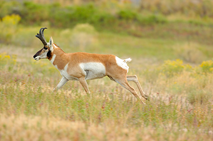 Pronghorn_NorthEntrance_Yellowstone_0215