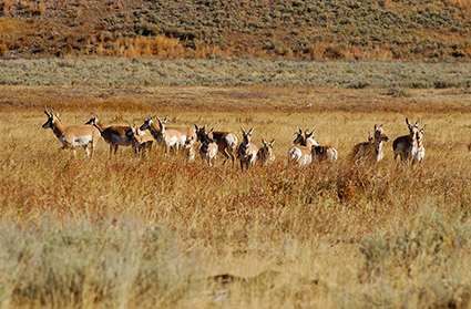 Pronghorns_LamarValley_0525