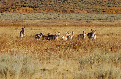 Pronghorns_LamarValley_0527