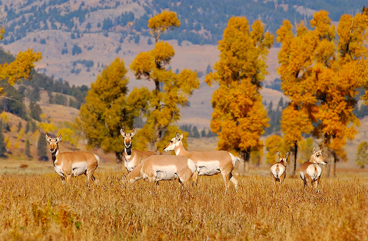 Pronghorns_LamarValley_0552