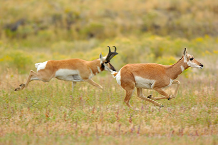 Pronghorns_NorthEntrance_Yellowstone_0166
