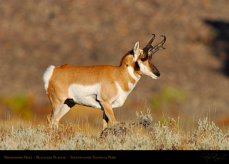 Pronghorn_BlacktailPlateau_0351