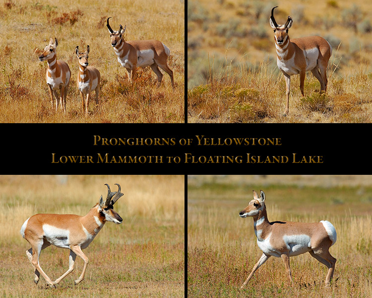 Pronghorns_LowerMammoth_FloatingIsLake