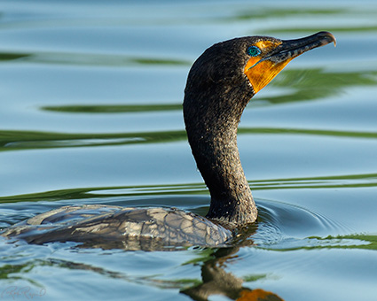 BreedingCormorant_X1174M