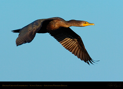 Cormorant_Flight_1010
