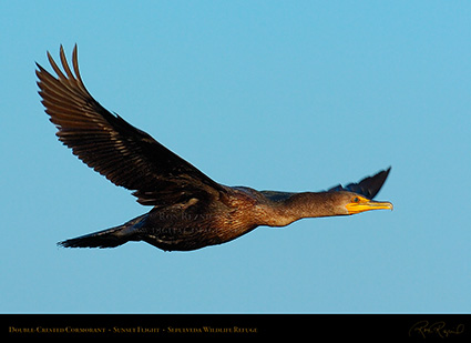Cormorant_Flight_1011