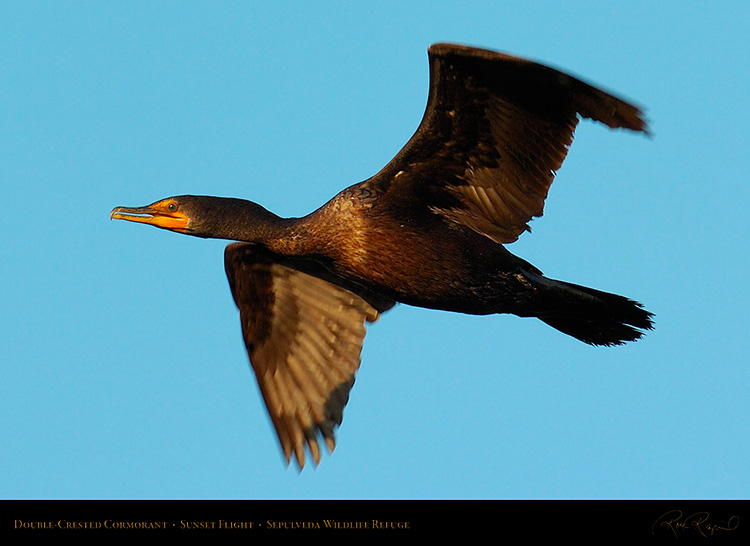 Cormorant_Flight_1022