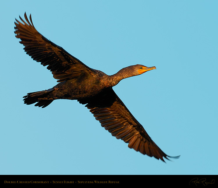 Cormorant_Flight_1106M