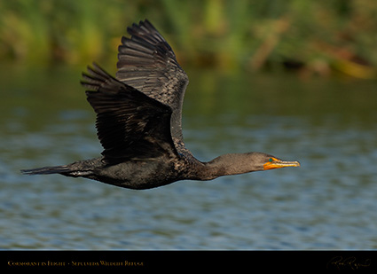Cormorant_Flight_X5093