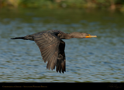 Cormorant_Flight_X5094