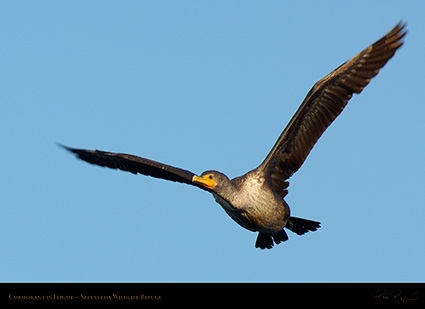 Cormorant_Flight_X5250